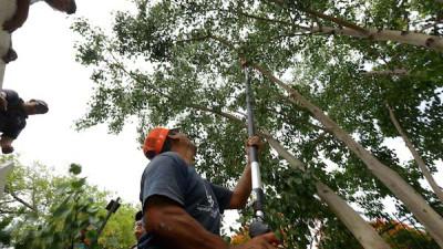 En caso de huracán en Mérida, podan 10,000 árboles
