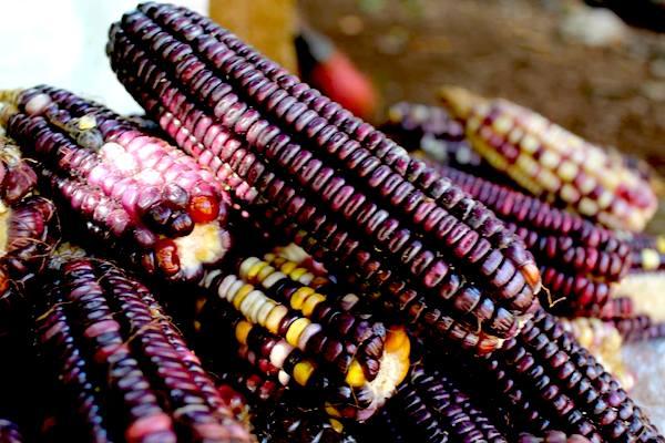 El alimento preferido de los pueblos originarios