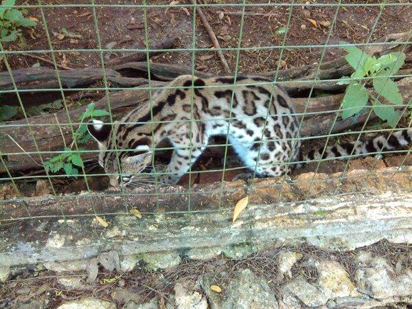 Tigrillo en peligro de extinción