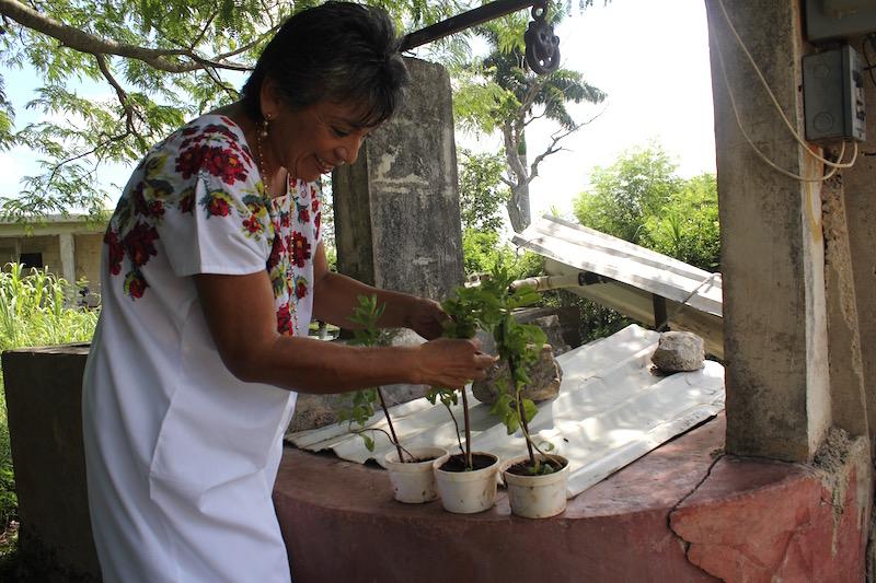 La maestra Laura Pérez arreglando unas plantitas de Stevia