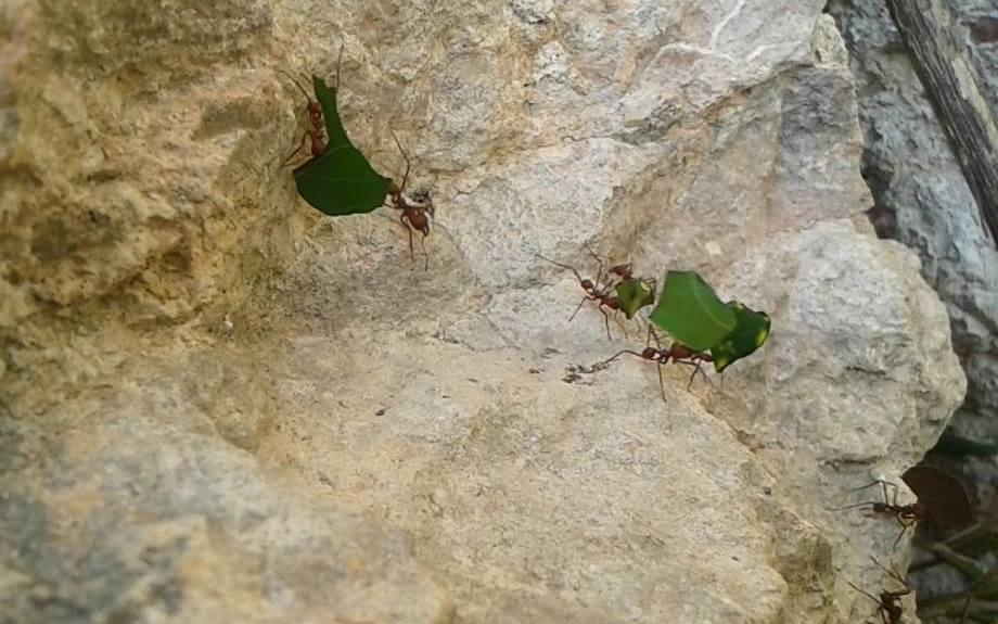 Fotografía de Fátima Tec Pool / Hormigas transportando hojas