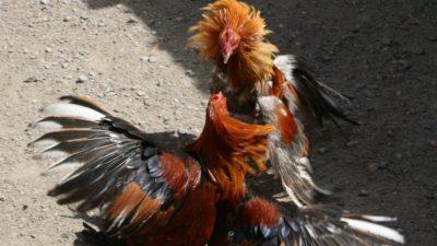 """""""Pongamos fin a la pelea de gallos en Yucatán"""""""