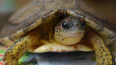 Dos últimos días para liberar tortuguitas en Sisal, Yucatán