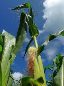 Foto Haizel de la Cruz / El cultivo transgénicoS es una gran preocupación en México y más si se tiene en cuenta que somos el lugar de origen del maíz