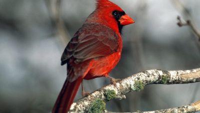 cardenalrojo.jpg