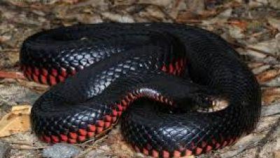 serpientenegra1.jpg